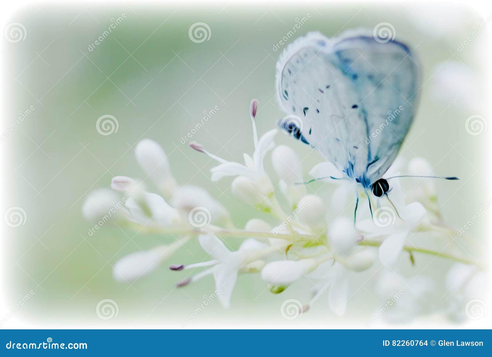 Mjuk blå fjäril på en blom för vit blomma