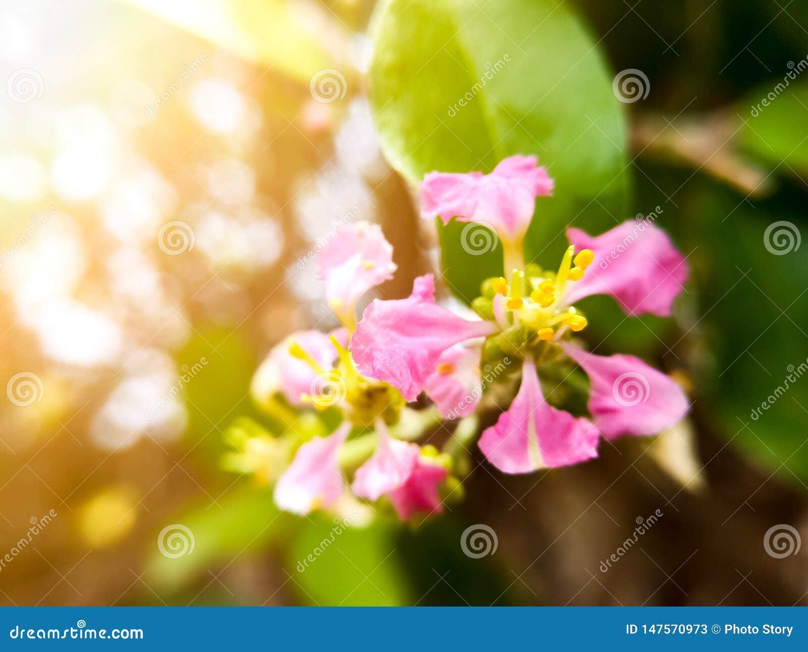 Mjuk fokus f?r val p? det gula pollenet av h?rliga rosa blommor Rosa blommor med bakgrund f?r bokehnaturljus