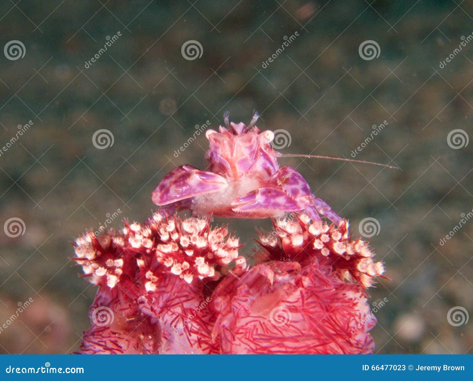 Mjuk korallporslinkrabba med ägg, Raja Ampat, Indonesien