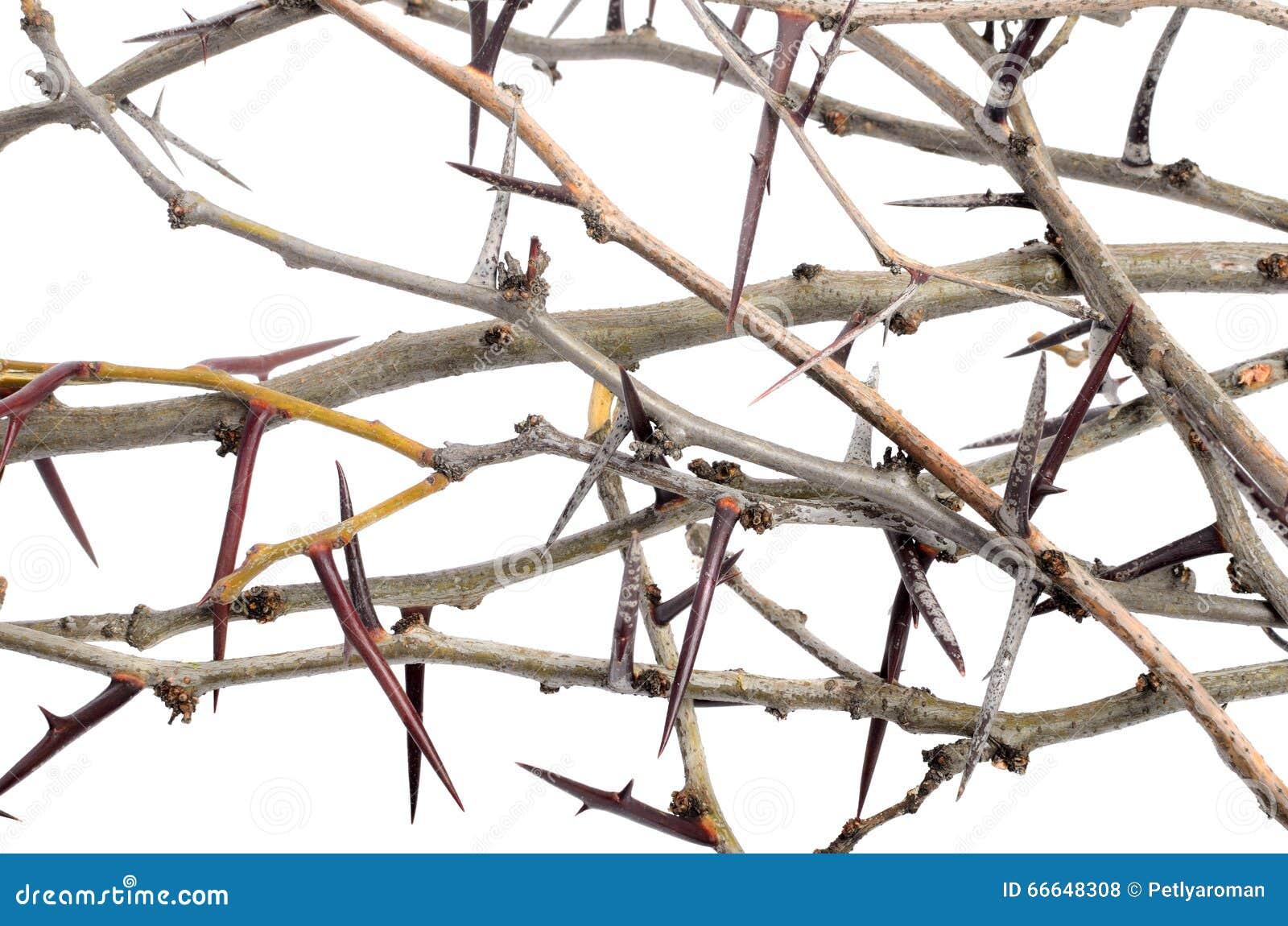 Mnóstwo akacja rozgałęzia się z cierniami odizolowywającymi na białym backgroun