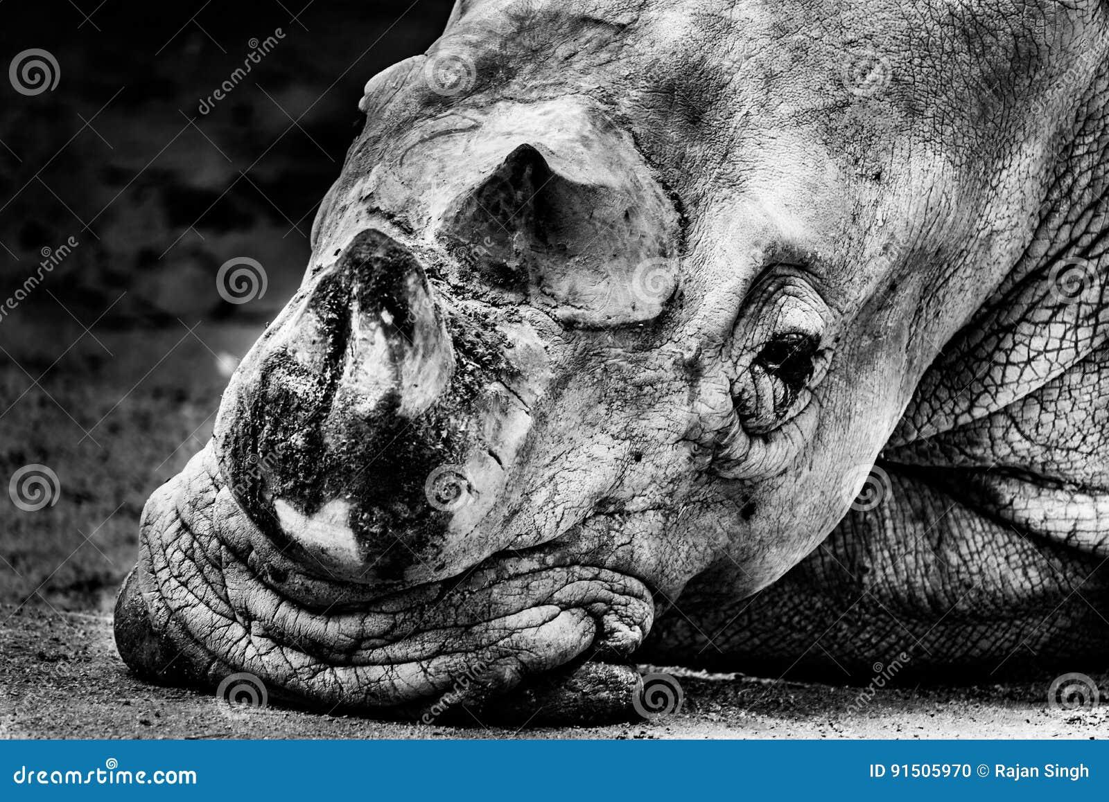 Można nosorożec