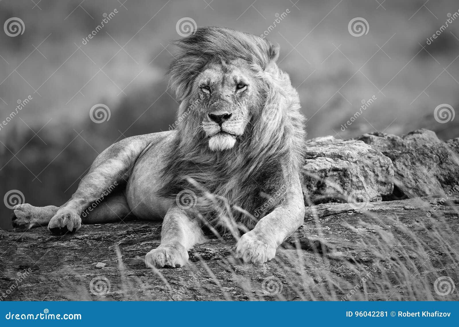Możny i piękny lew odpoczywa w Afrykańskiej sawannie, czarny i biały