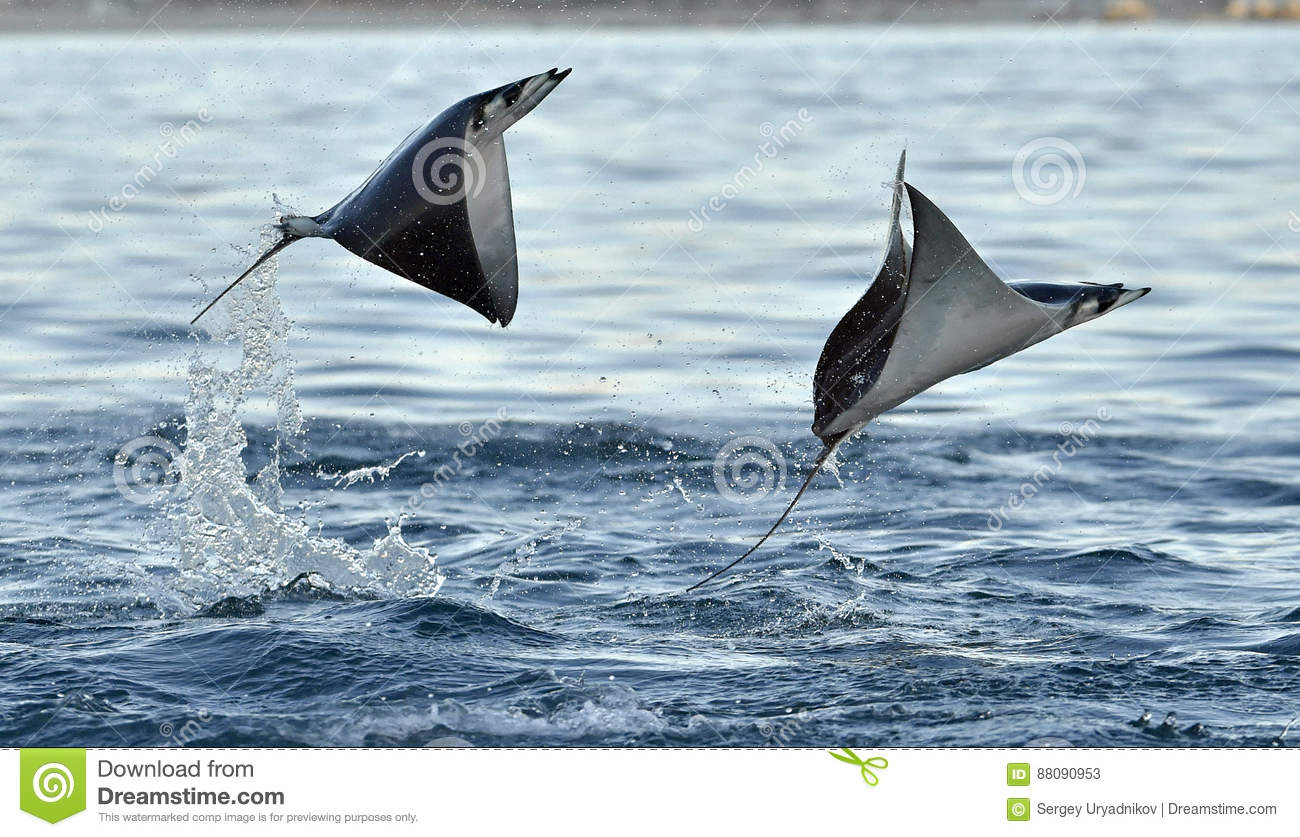 Mobula Ray do voo