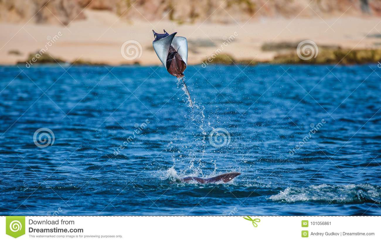 Mobula ray is jumping in the background of the beach of Cabo San Lucas. Mexico. Sea of Cortez.