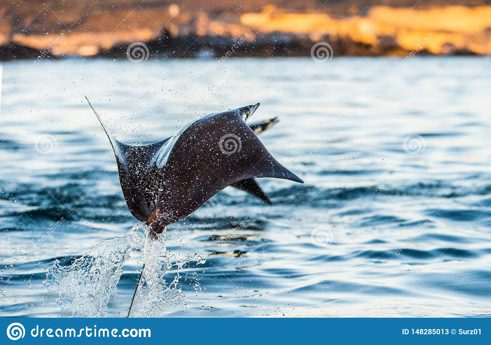Mobula ray jumping out of the water.