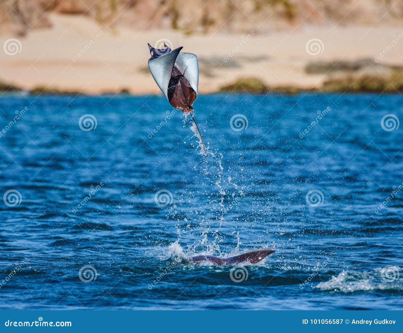 Mobulastrahl springt in den Hintergrund des Strandes von Cabo San Lucas mexiko Meer von Cortez