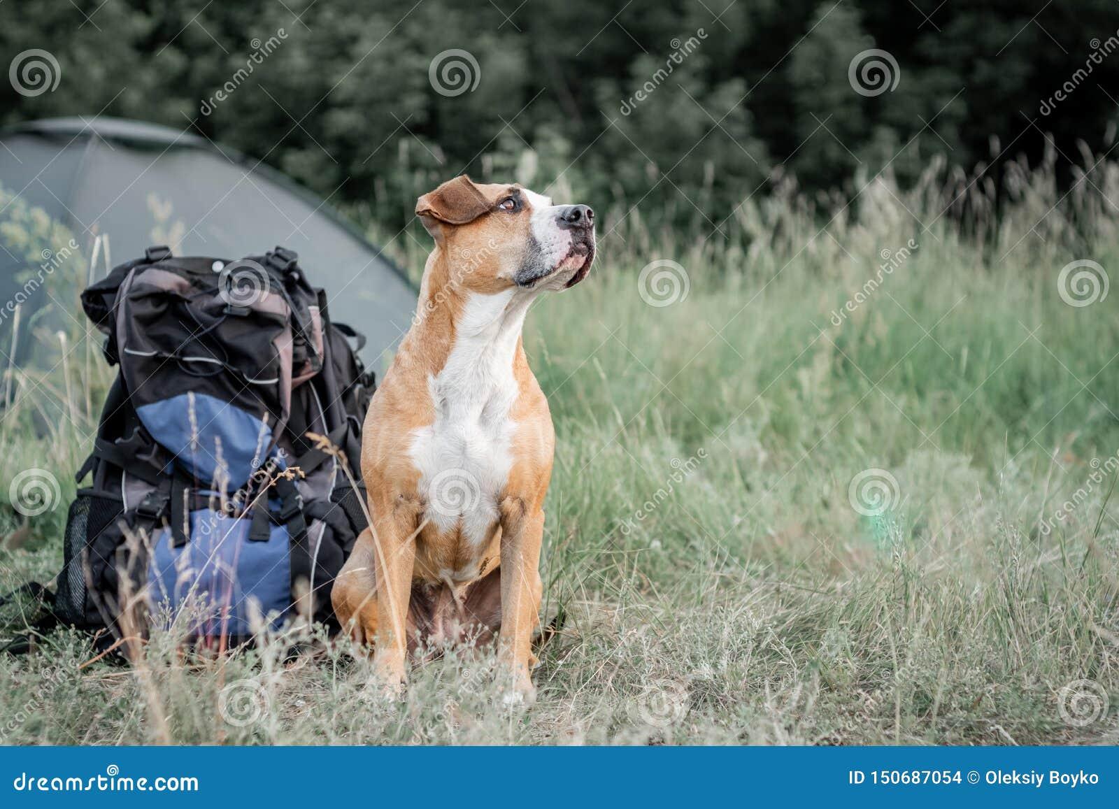 Mochila que camina con un perro: el terrier de Staffordshire se sienta al lado de una mochila turística en un camping