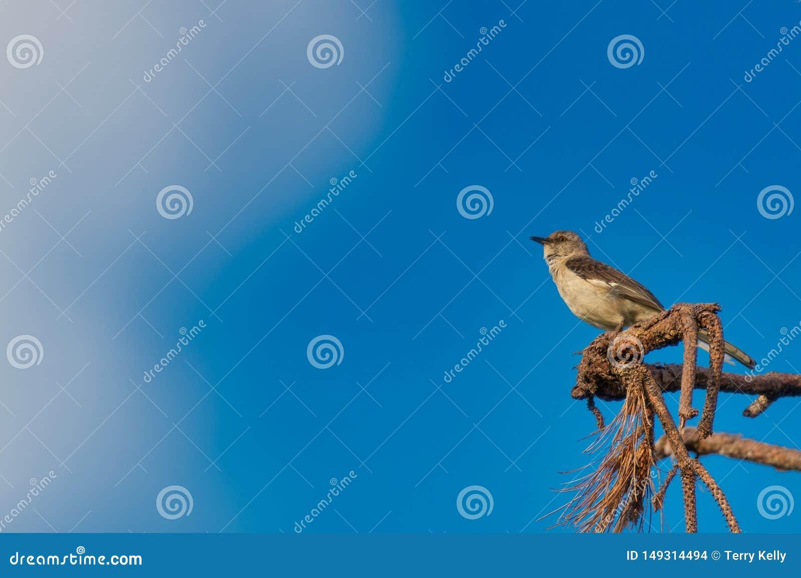 Mocking bird stock photo  Image of feather, feathers - 149314494
