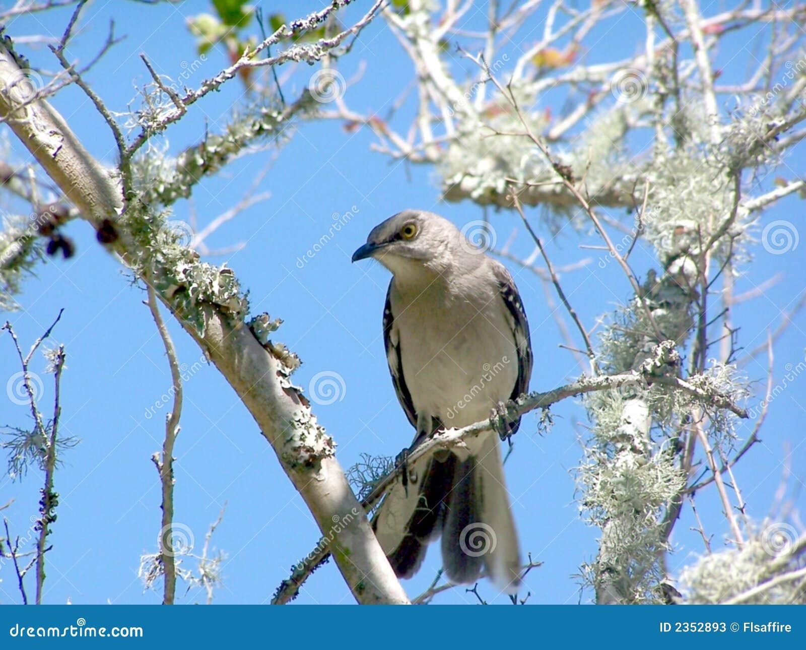Mocking Bird On A Tree Limb Stock Image - Image of pretty ...