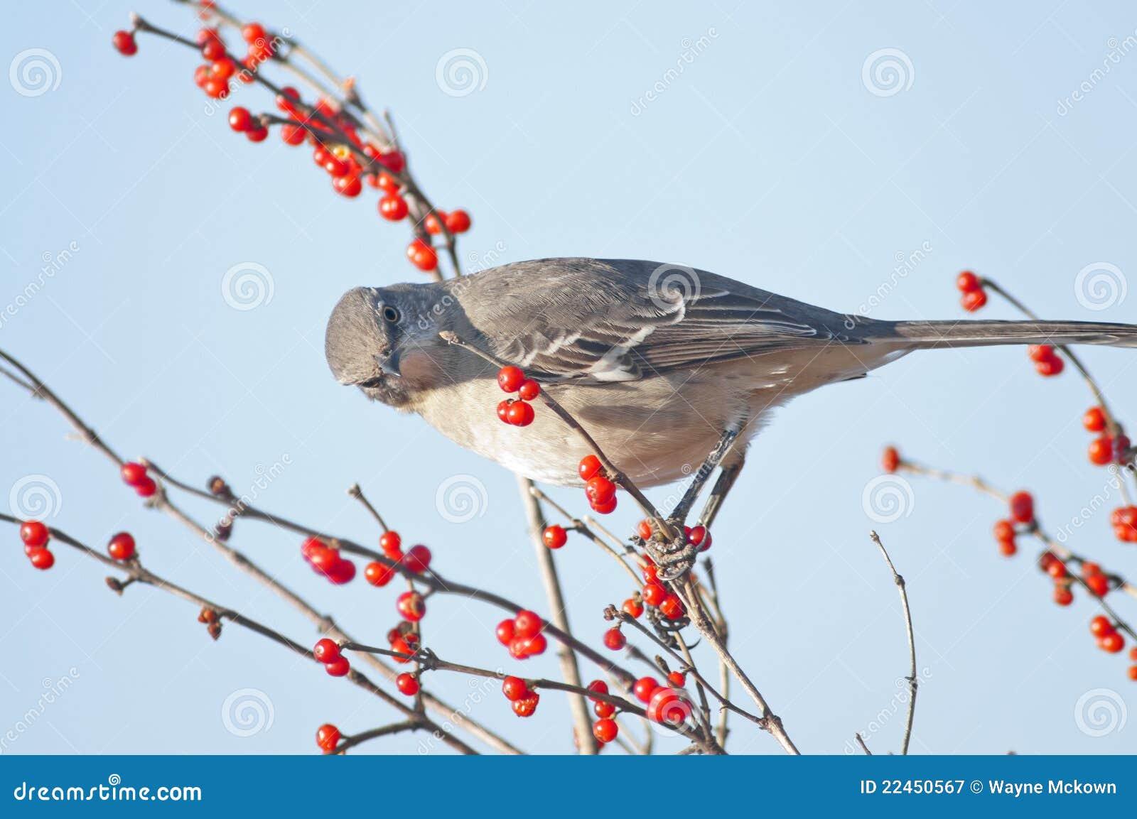 Mockingbird do norte