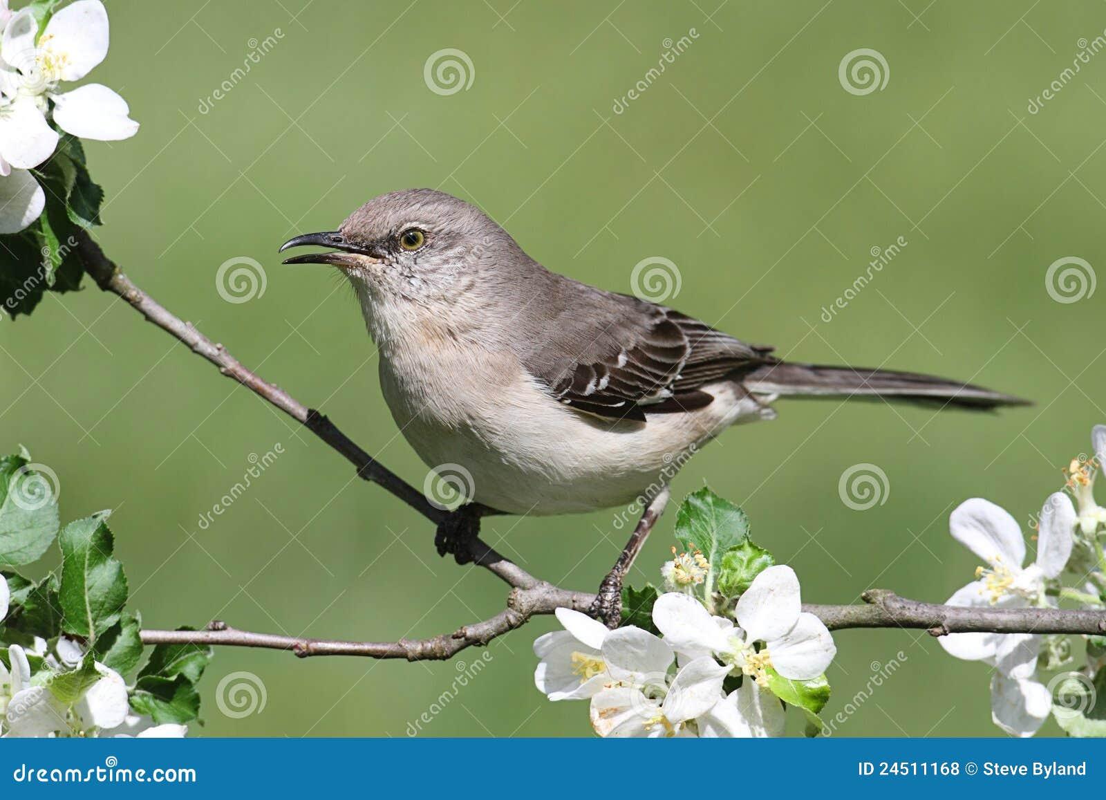 Mockingbird do norte (polyglottos do Mimus)