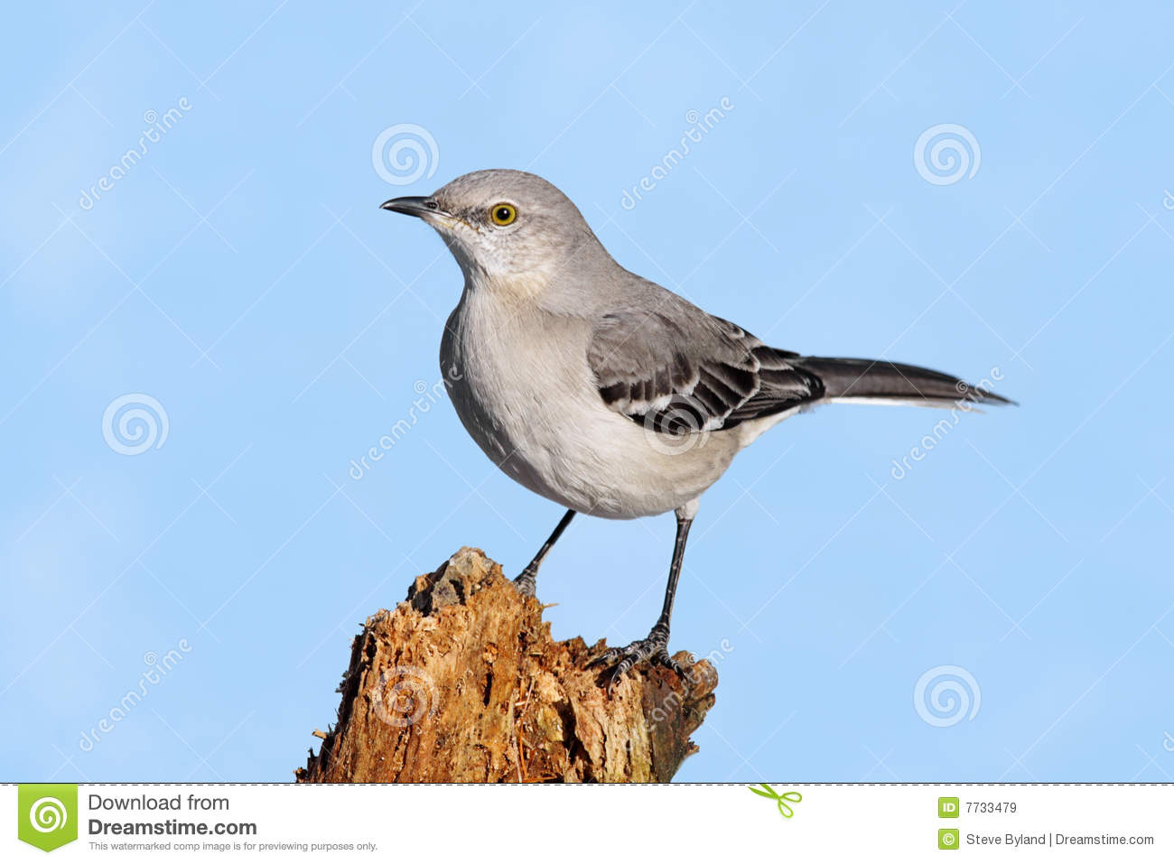 Download Mockingbird On A Stump stock image. Image of wildlife - 7733479