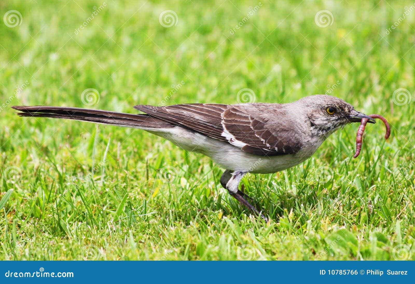Mockingbird y gusano