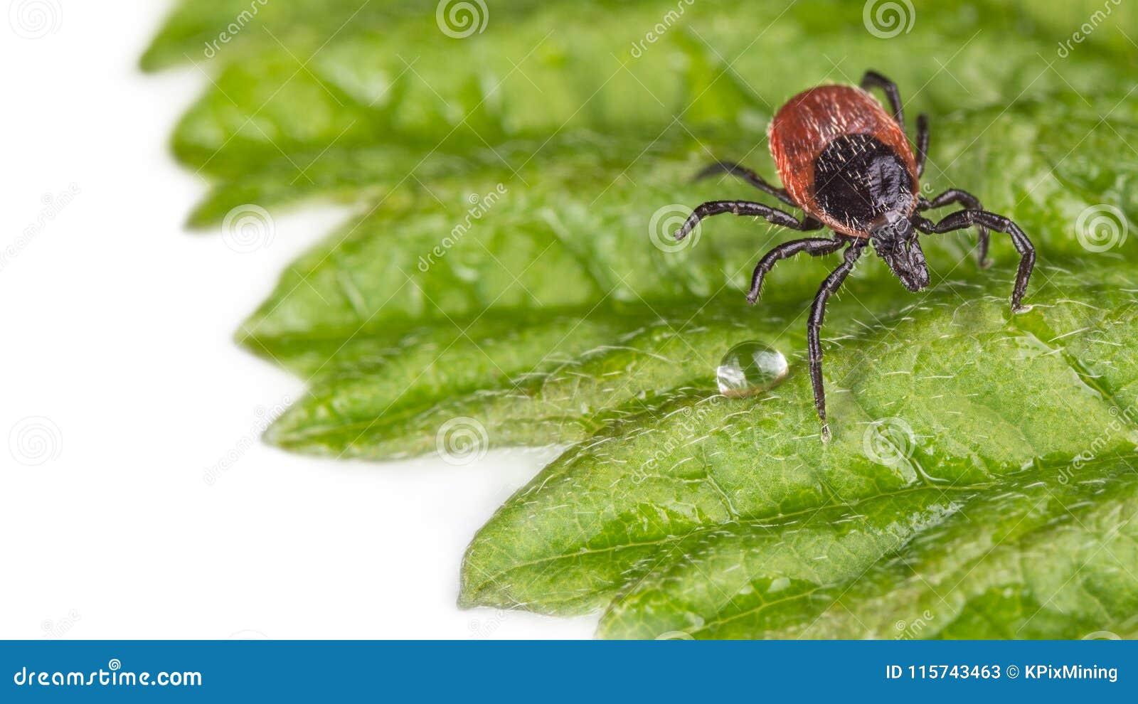 Moczy rycynowej fasoli cwelicha na dekoracyjnym zielonym liściu z deszcz kroplą pokrywa psi żeński ixodes laboratorium odzyskując