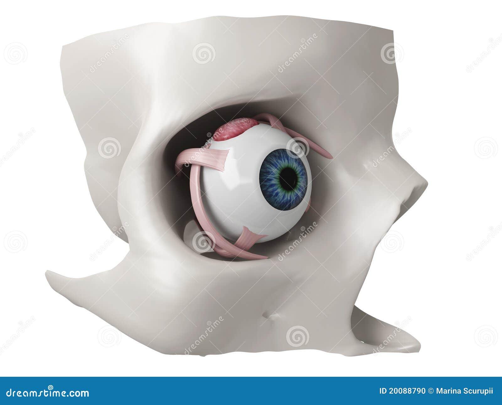 Berühmt 3d Auge Anatomie Fotos - Menschliche Anatomie Bilder ...