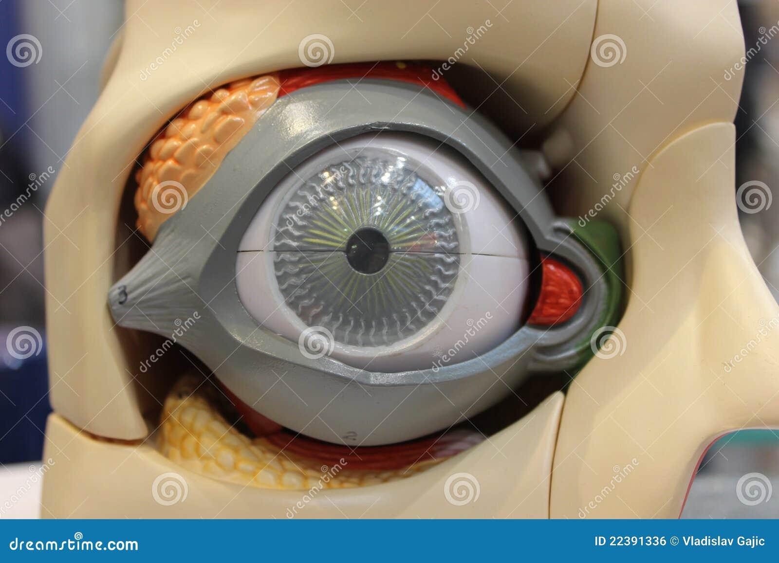 Modèle d oeil