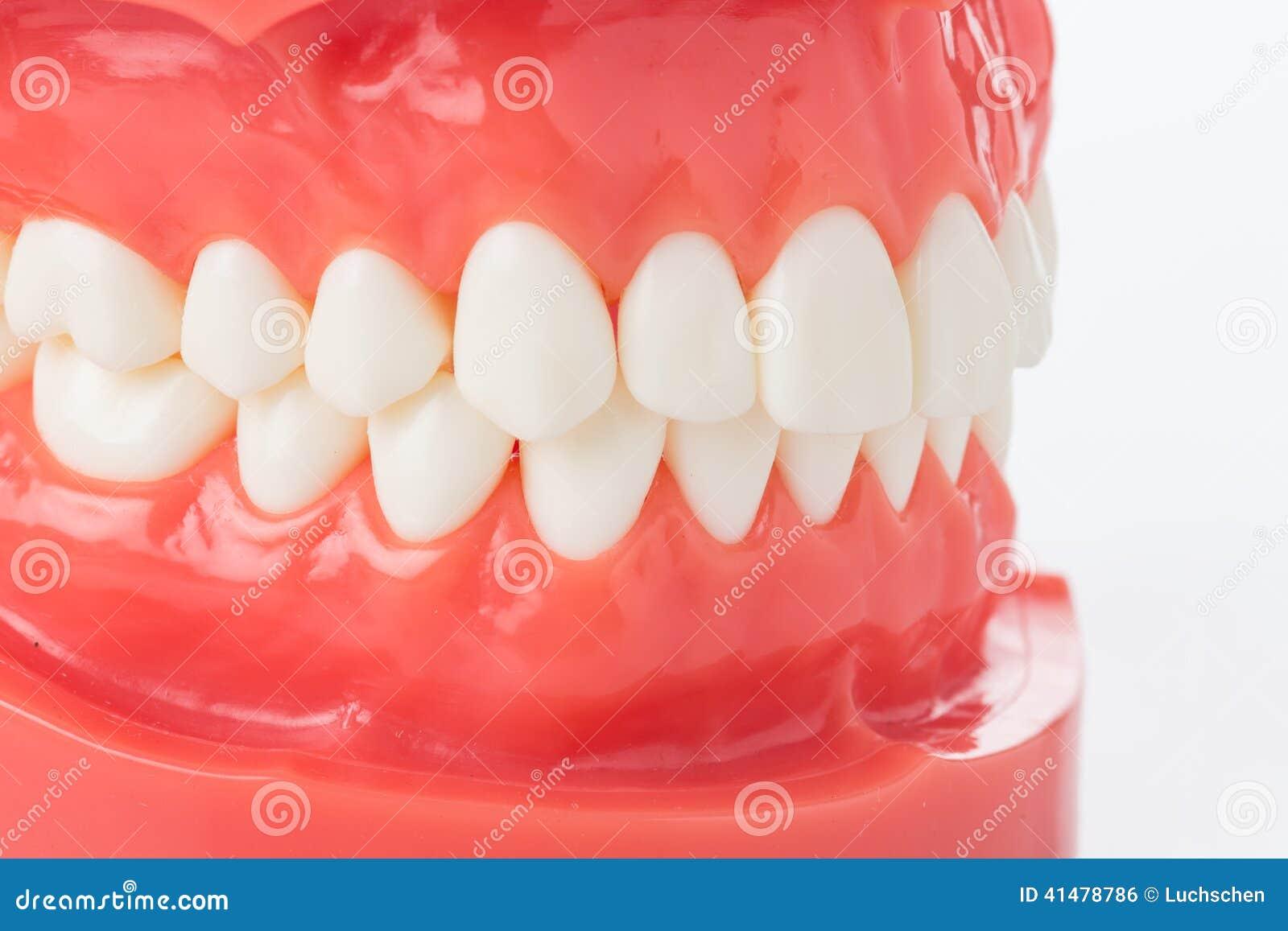 Modèle de mâchoire avec des dents