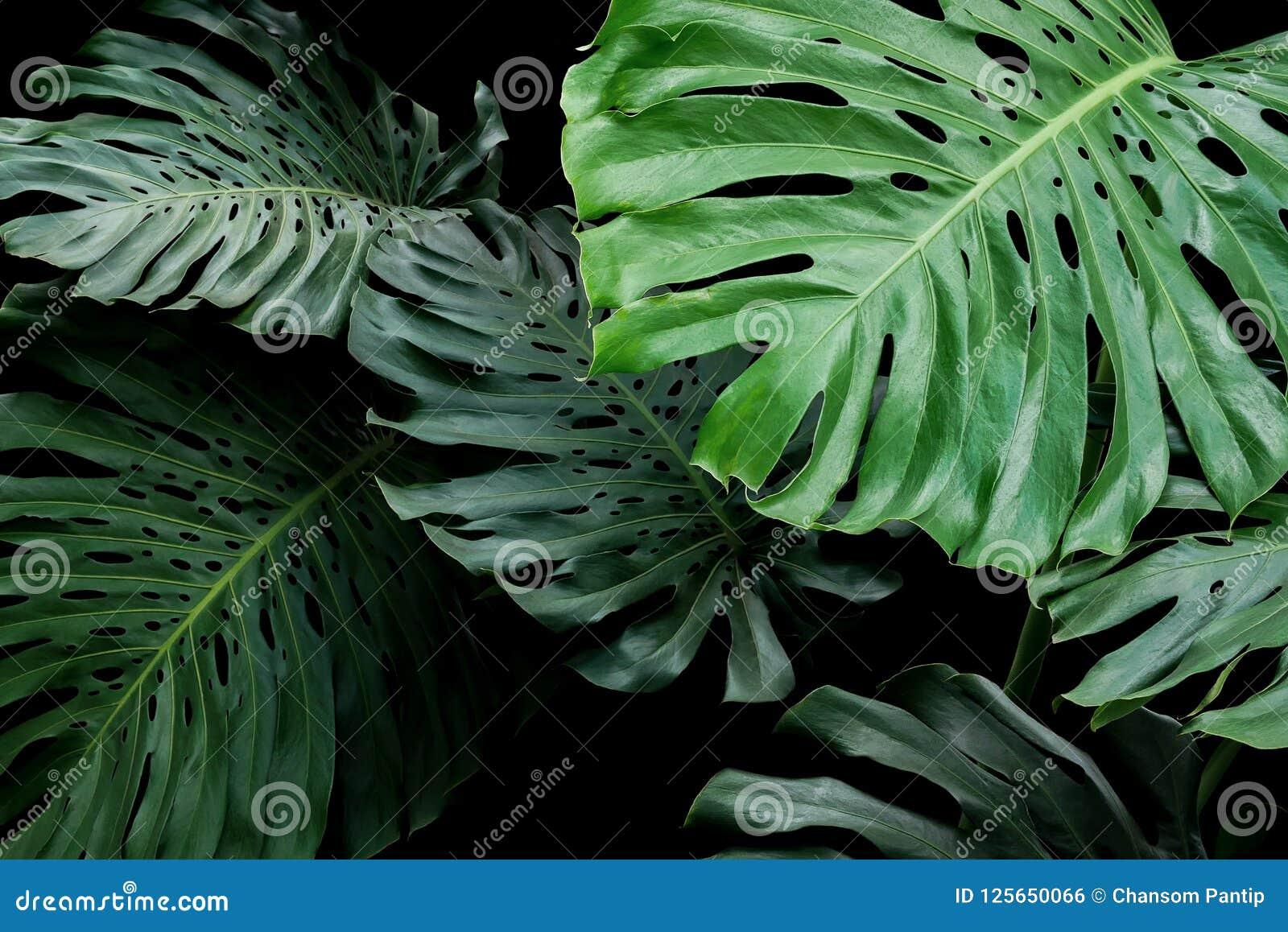 Modèle floral exotique de feuilles tropicales de philodendron de feuille de fente
