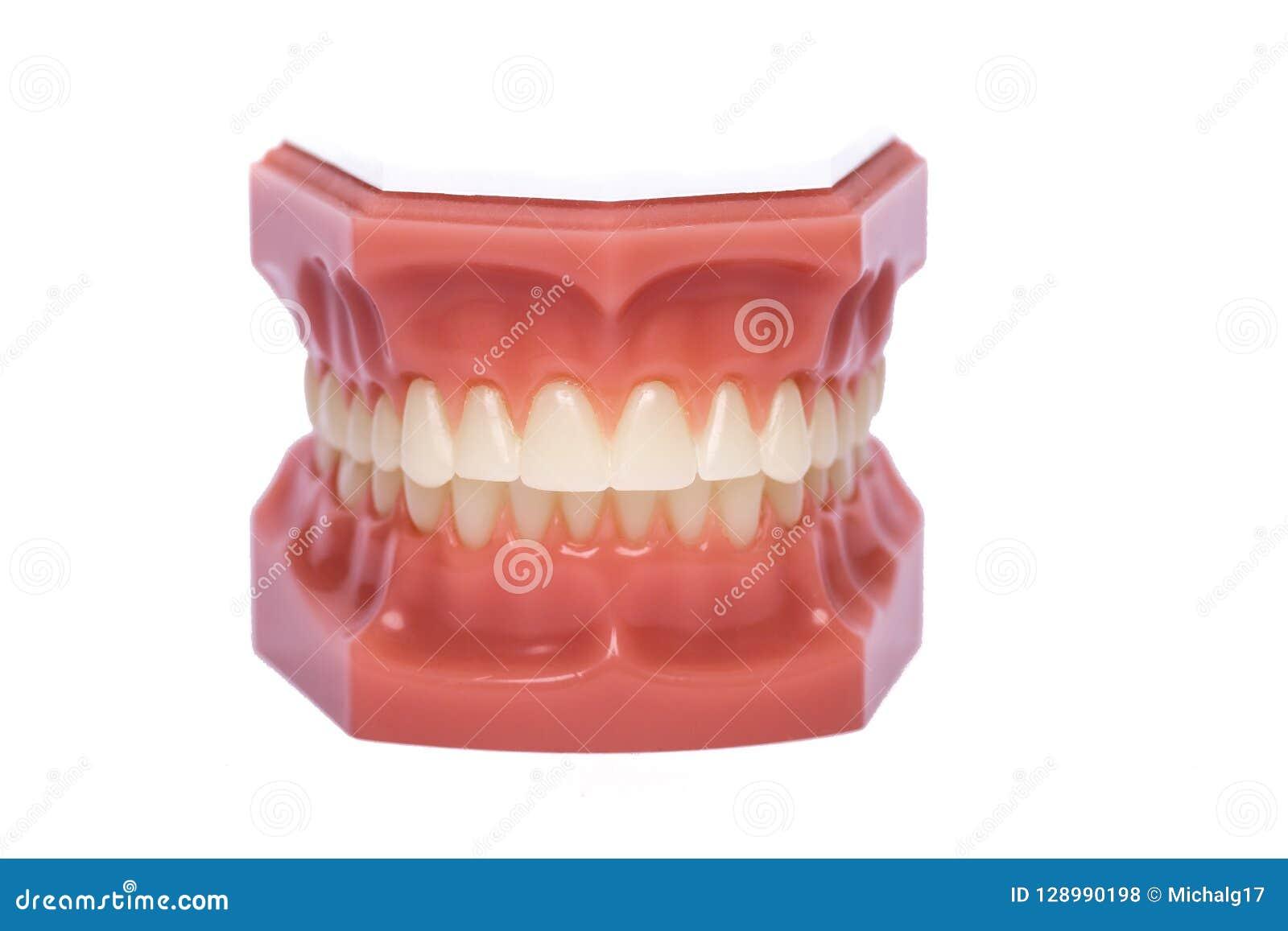 Modèle orthodontique utilisé en art dentaire pour la démonstration et les buts éducatifs