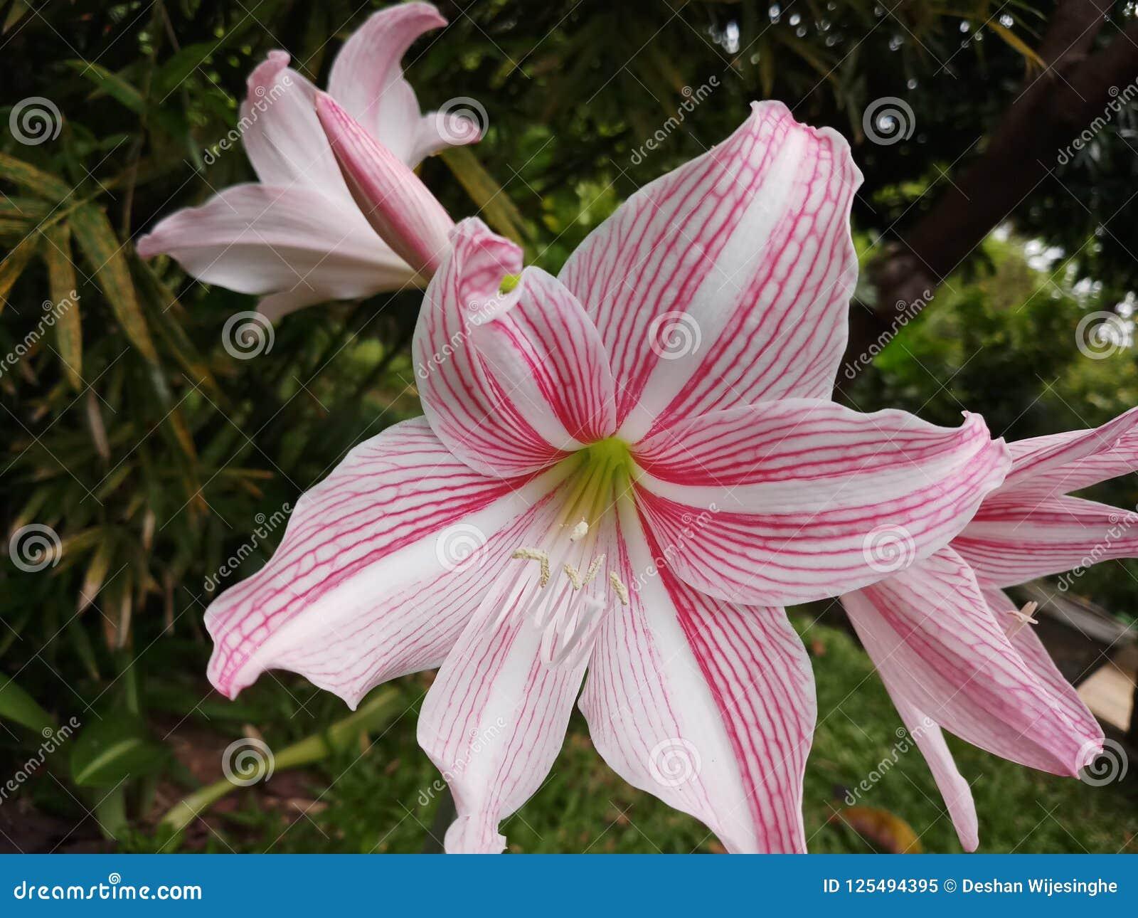 Modèles de couleur de Lily Flower With Beautiful