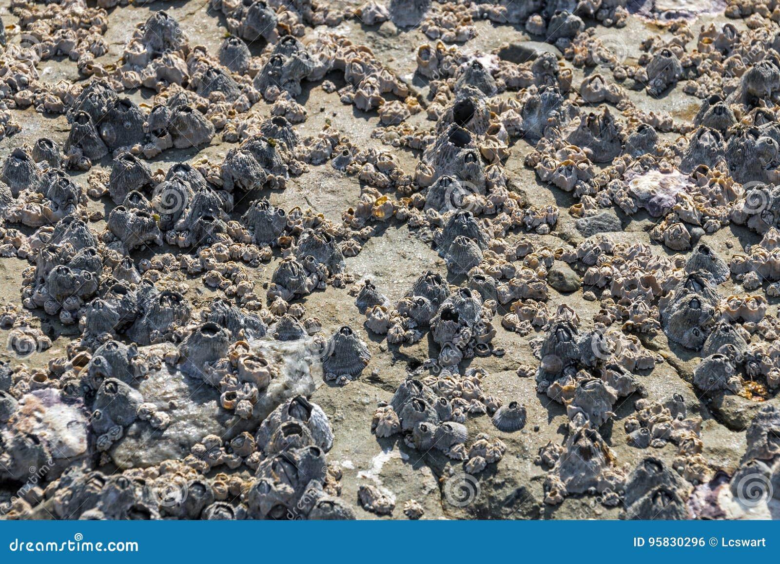 Modèles et textures de roche couverts à l arrière-plan de bernaches