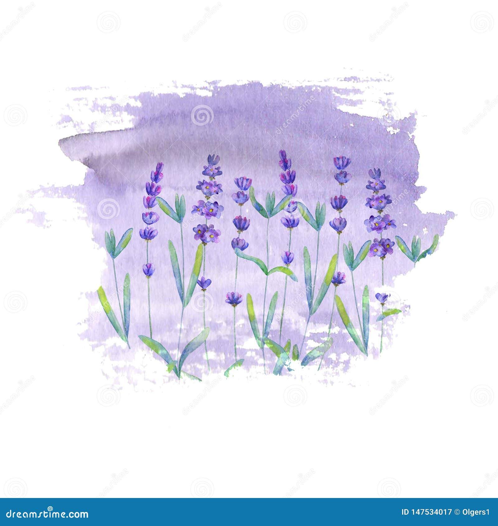 Mod?le de gisement de lavande sur la tache pourpre d isolement sur le fond blanc Fleurs tir?es par la main pour aquarelle