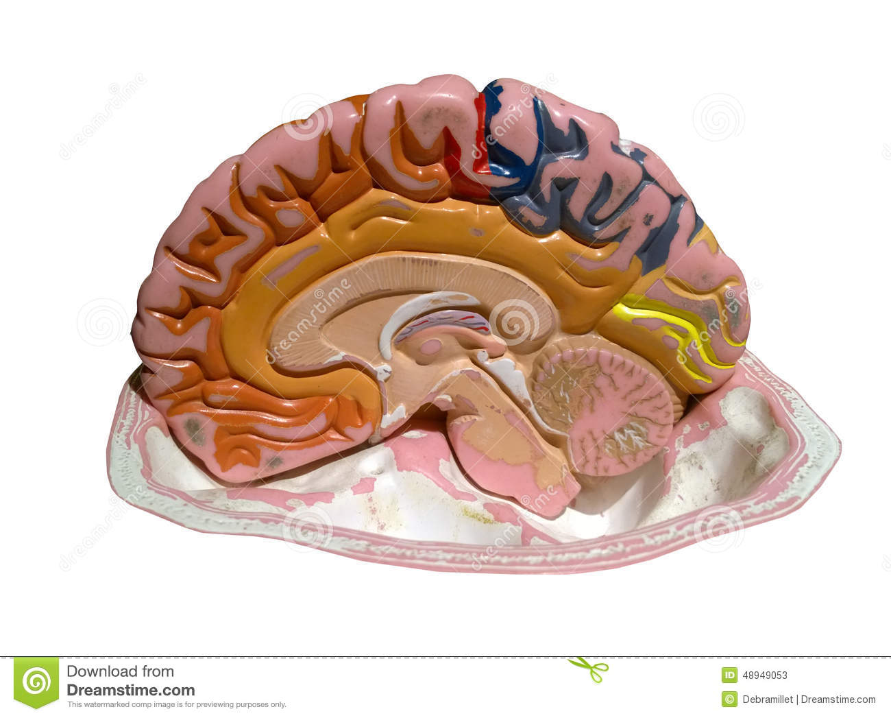 Model of a brain stock image. Image of teaching, isolated - 48949053