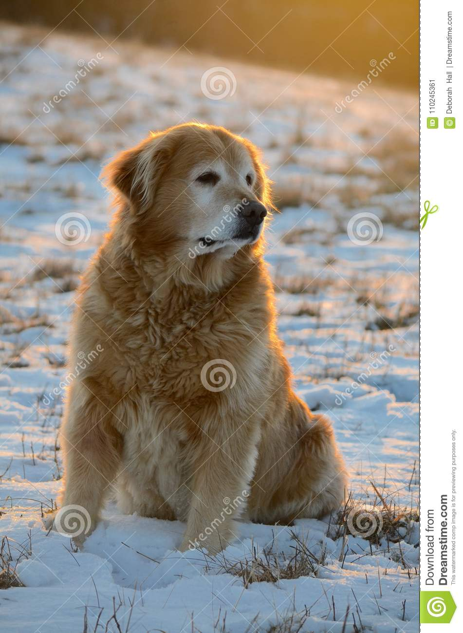 Model Dog From NH In The Snow Stock Image - Image of puppy