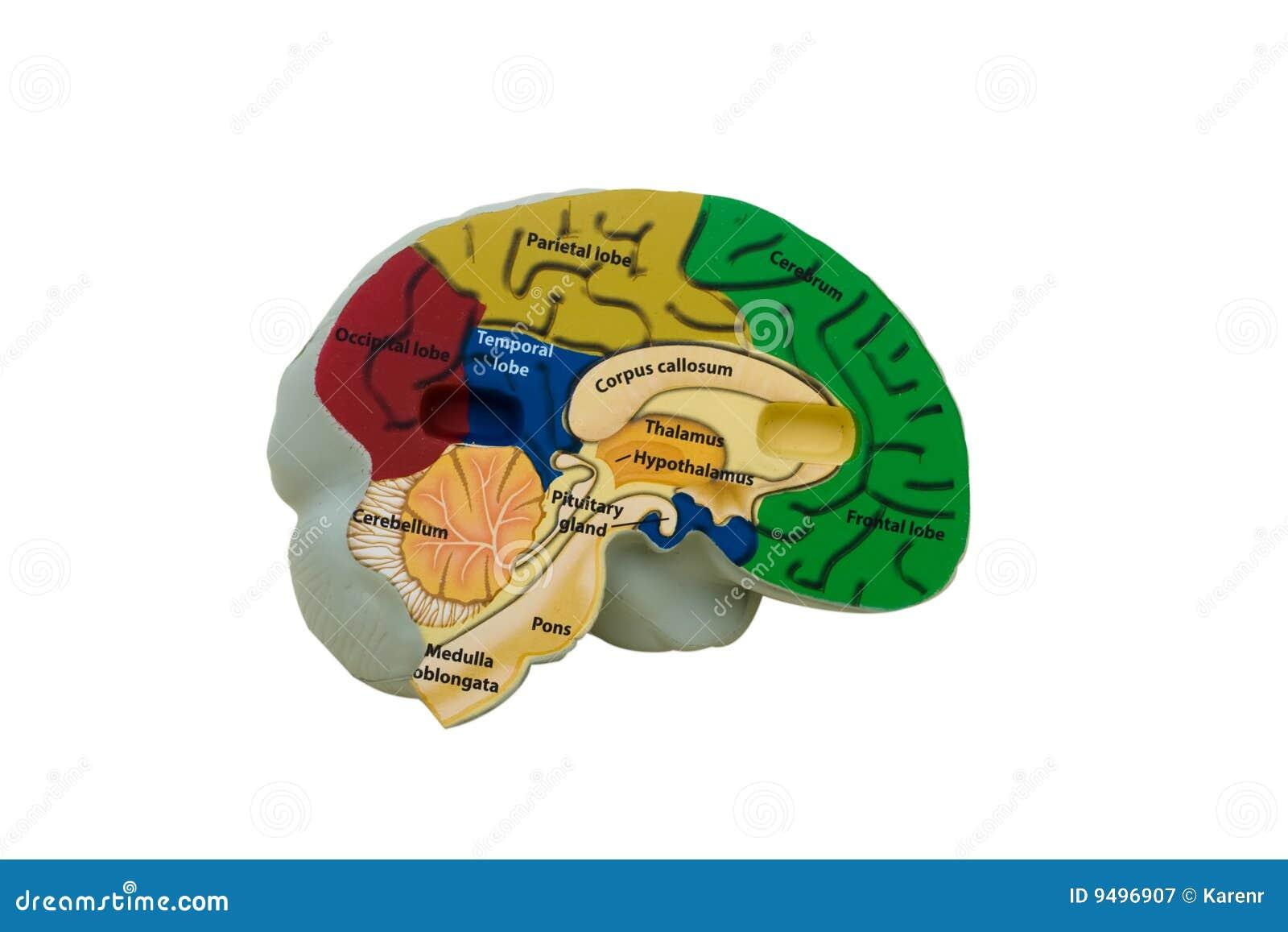 Model Hersenen
