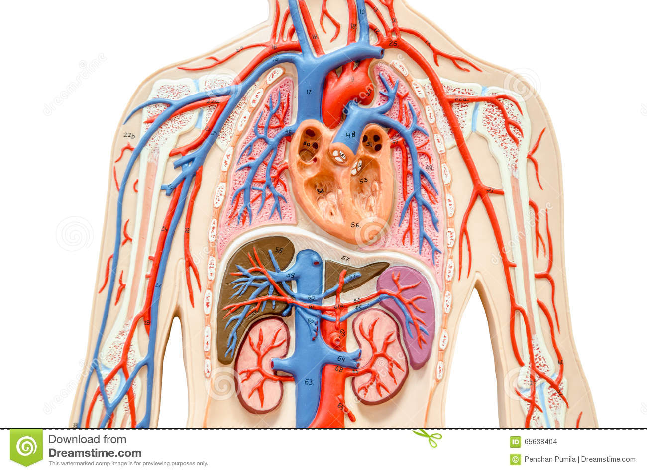 Model human body with liver, kidney, lungs and heart.