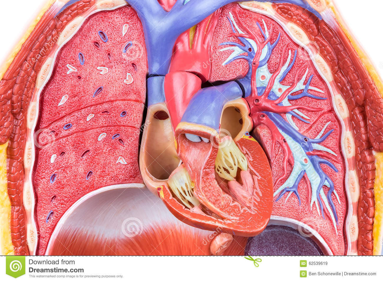 Model human body with lungs and heart