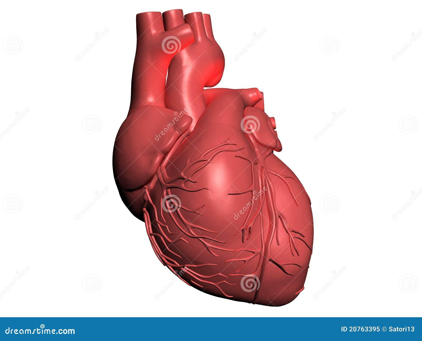 Model Of Human Heart Stock Illustration Illustration Of Artery