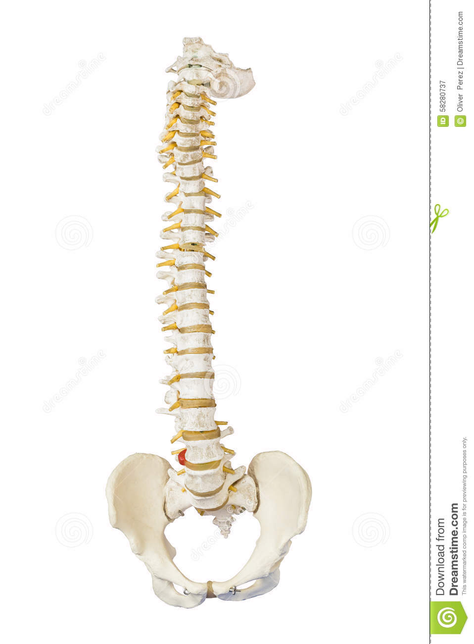 Download Model of human spine stock image. Image of body, health - 58280737