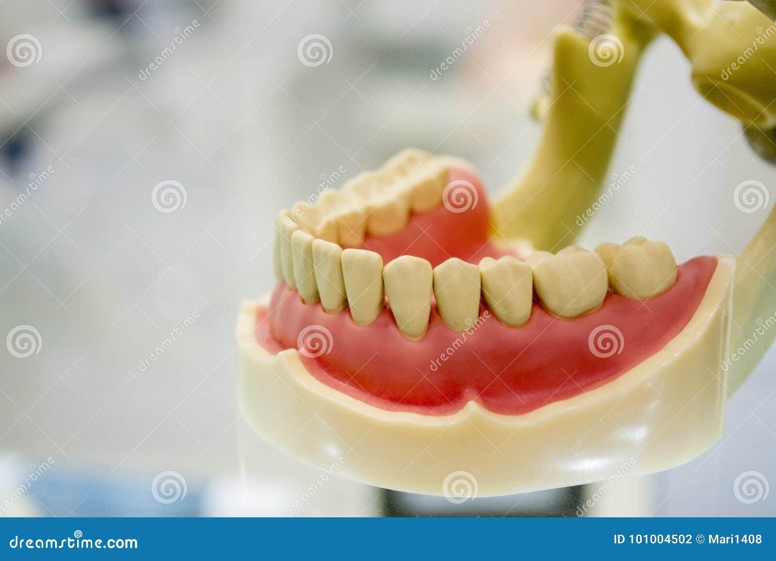 Model Of Human Teeth Of The Human Jaw Stock Photo Image Of Health