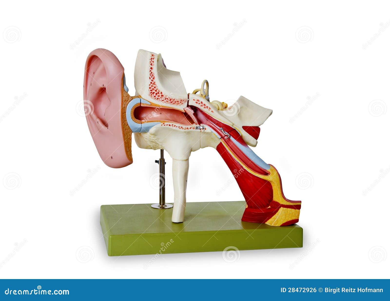 Model van auditief kanaal