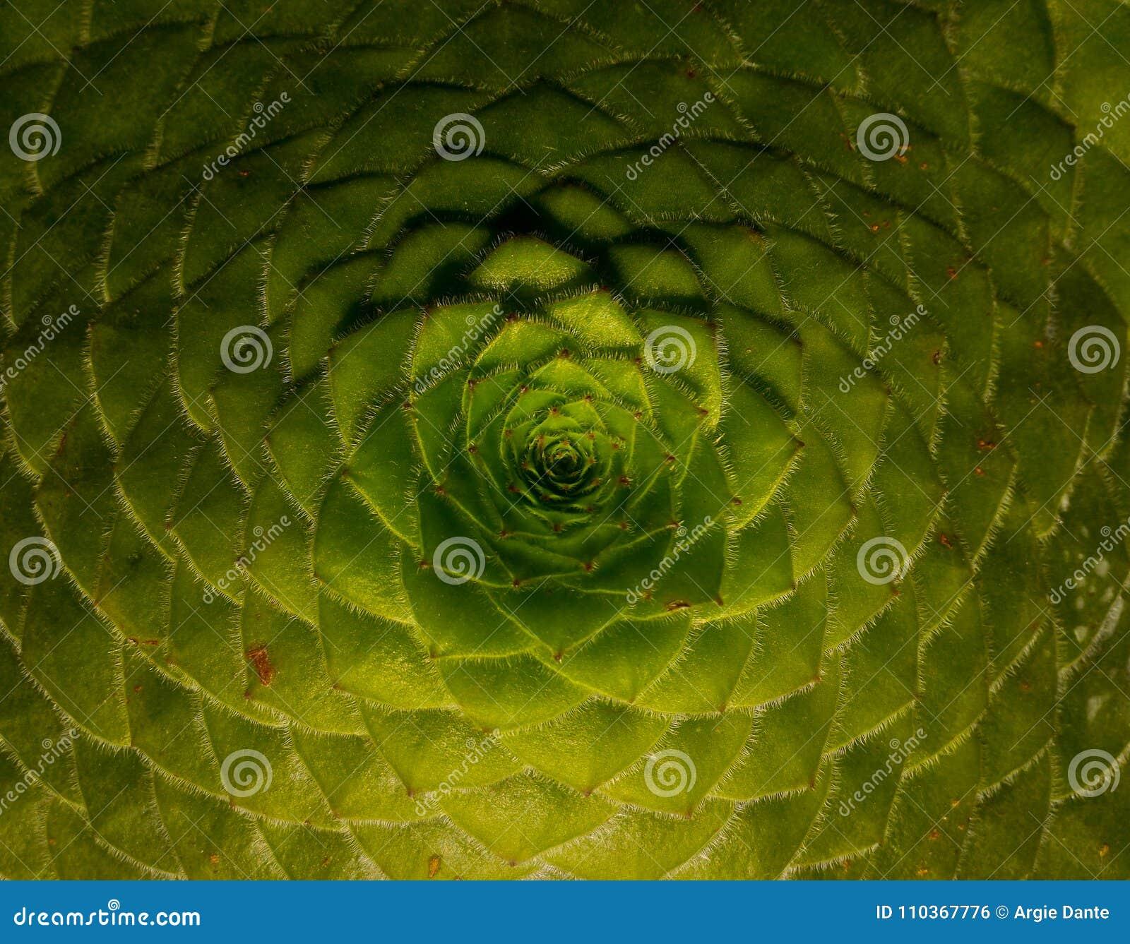 Modeller och följder på växter, fibonacci följd, guld- förhållande
