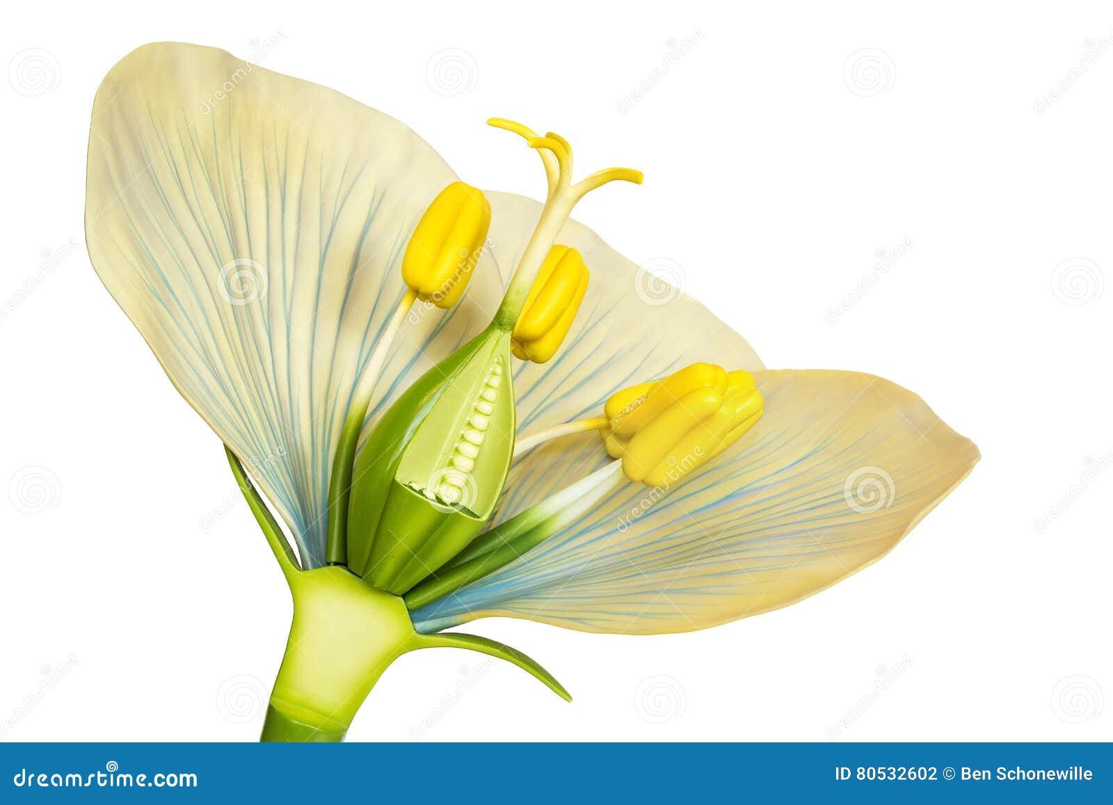 Modello del fiore con gli stami ed i pistilli su bianco - Modello di base del fiore ...