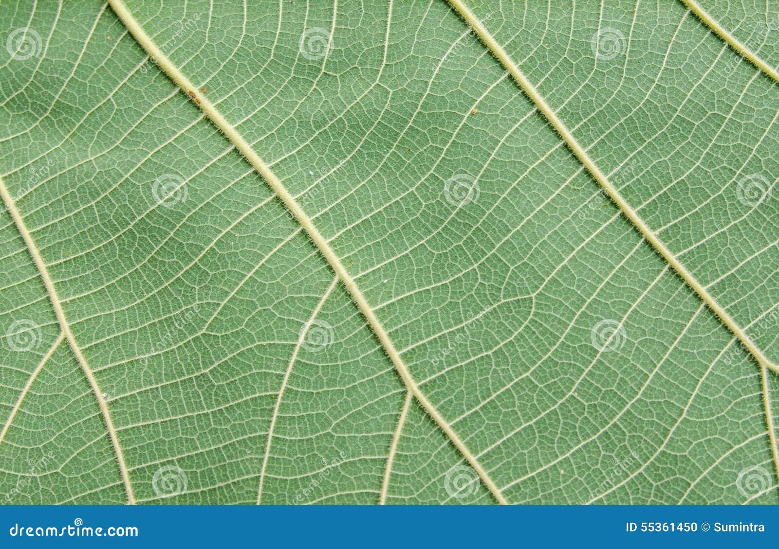 Modello della foglia verde