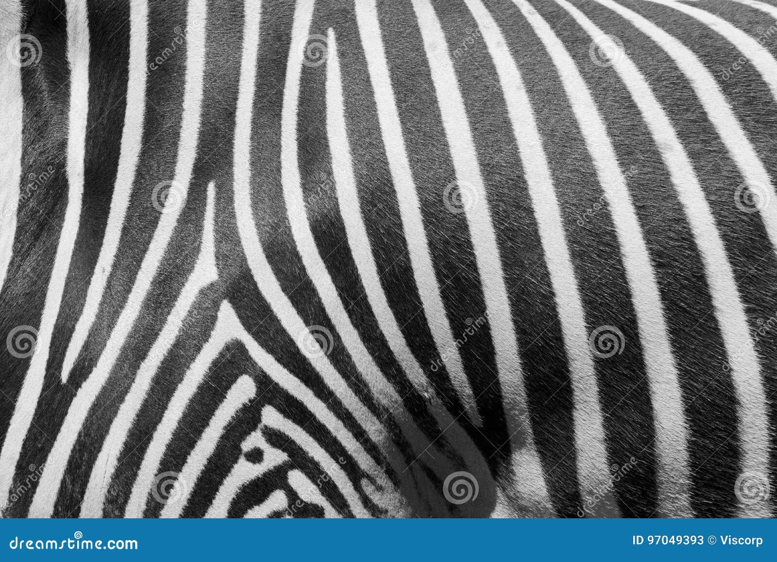 Modello della zebra