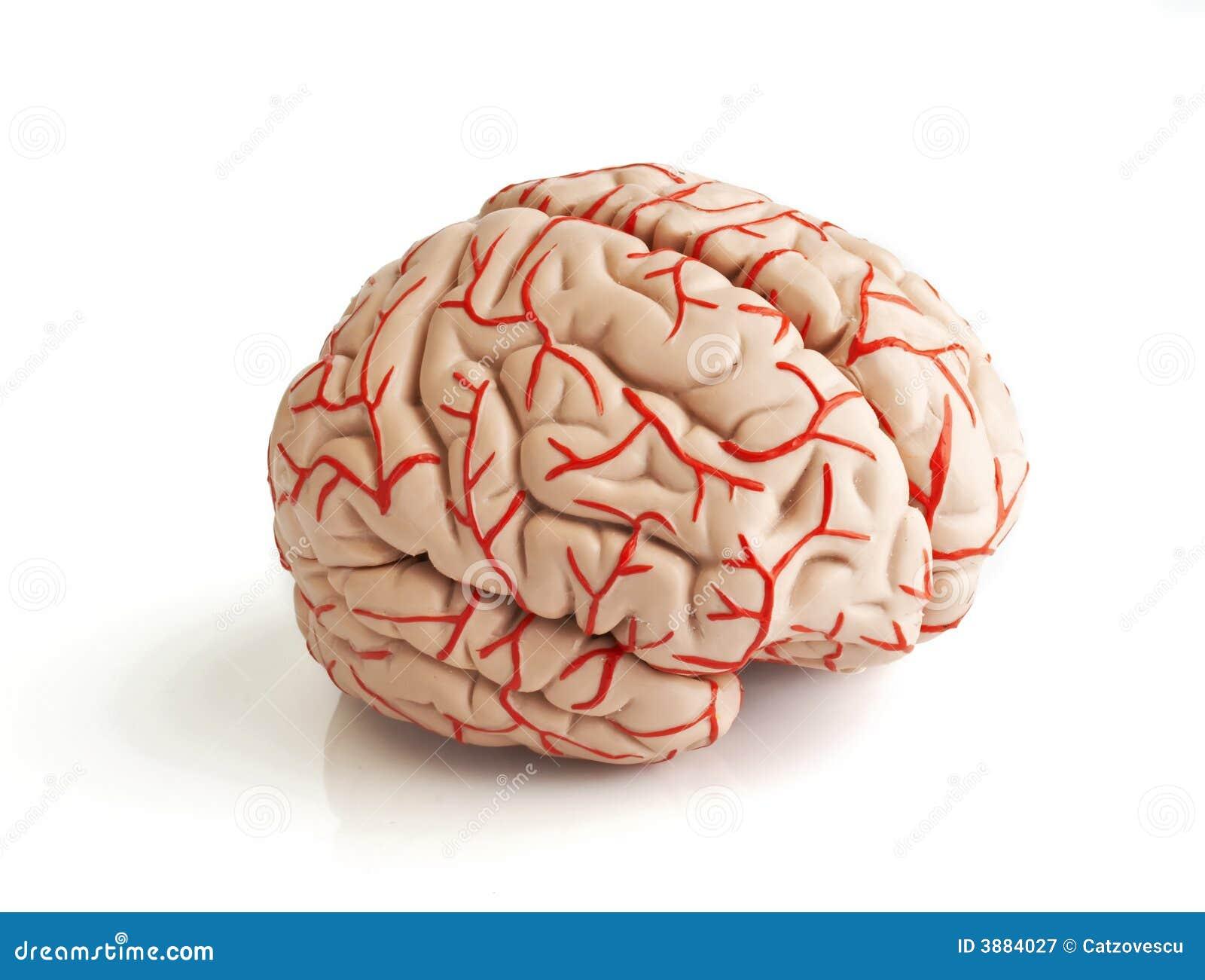 Modello di gomma anatomicamente corretto del reggiseno umano
