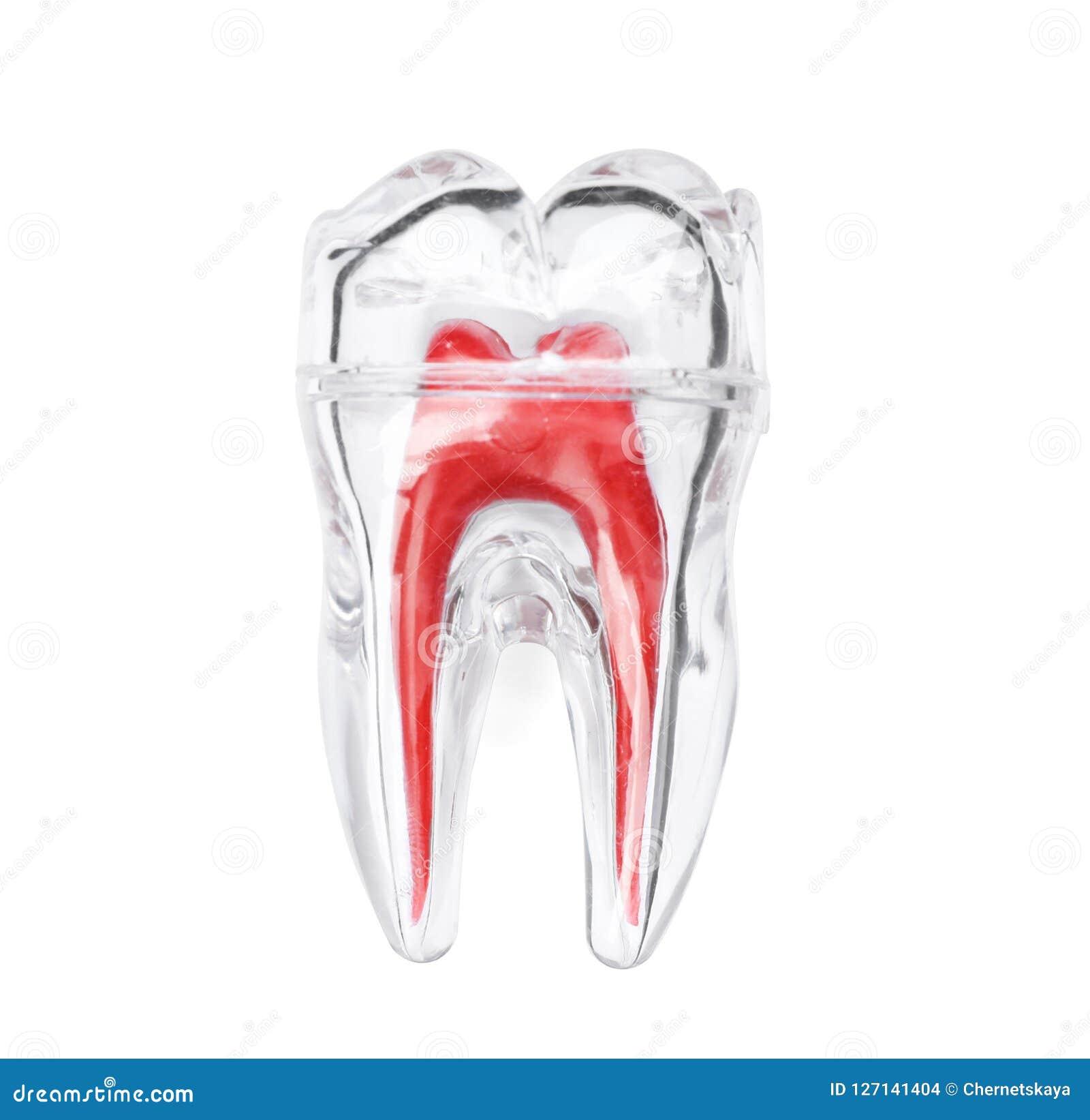 Modello molare di plastica del dente