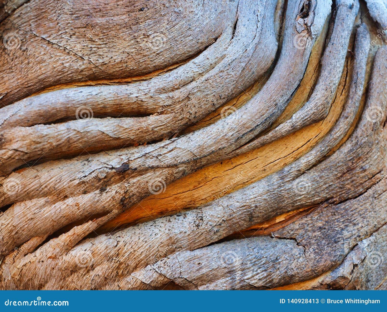 Modelo abstracto de la corteza, árbol nativo australiano