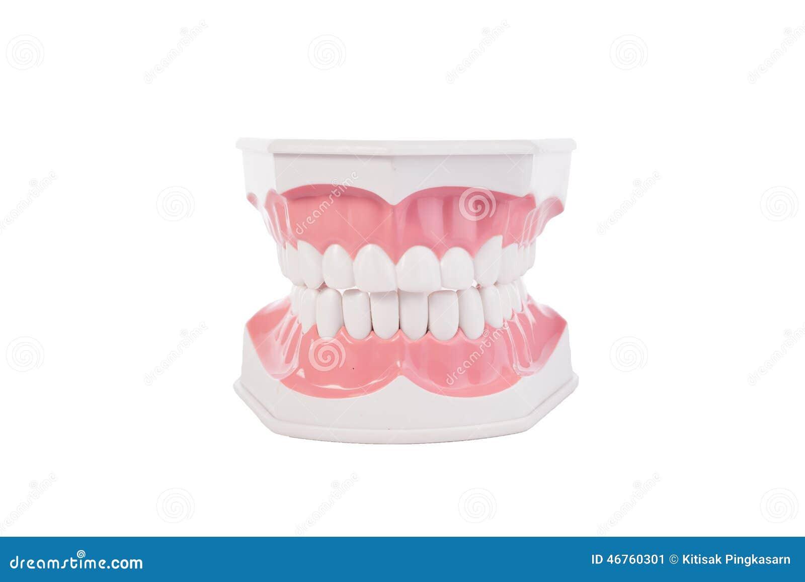 Modelo Anatómico De Los Dientes Humanos Blancos Sanos Odontología ...
