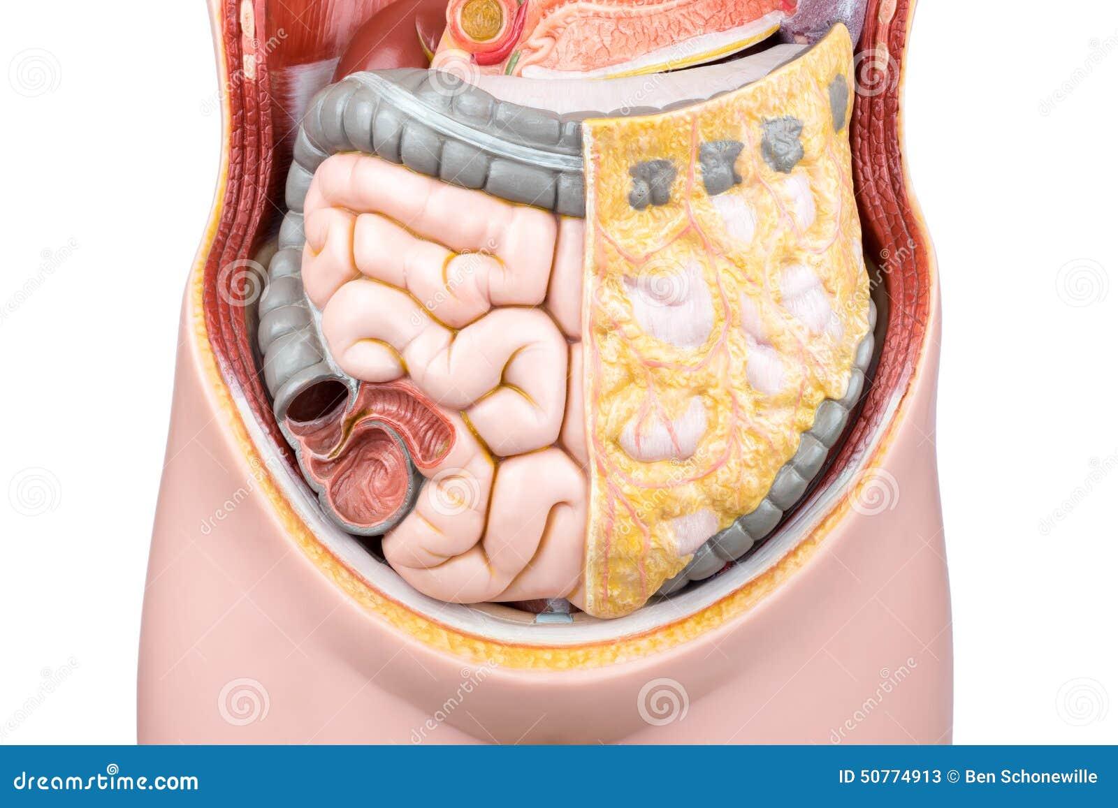 Modelo Artificial De Intestinos O De Intestinos Humanos Imagen de ...