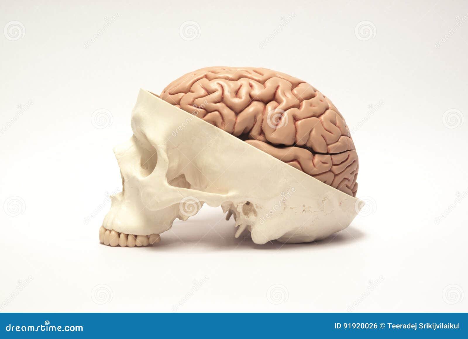 Modelo artificial do cérebro humano e do crânio