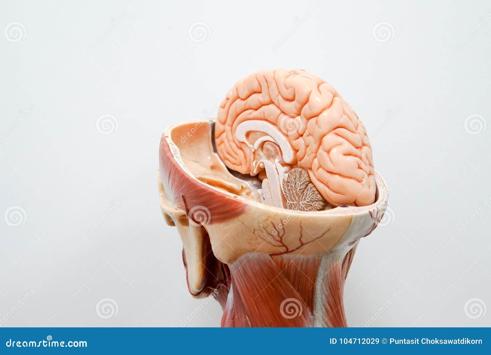 Modelo De La Anatomía Del Cerebro Humano Imagen de archivo - Imagen ...