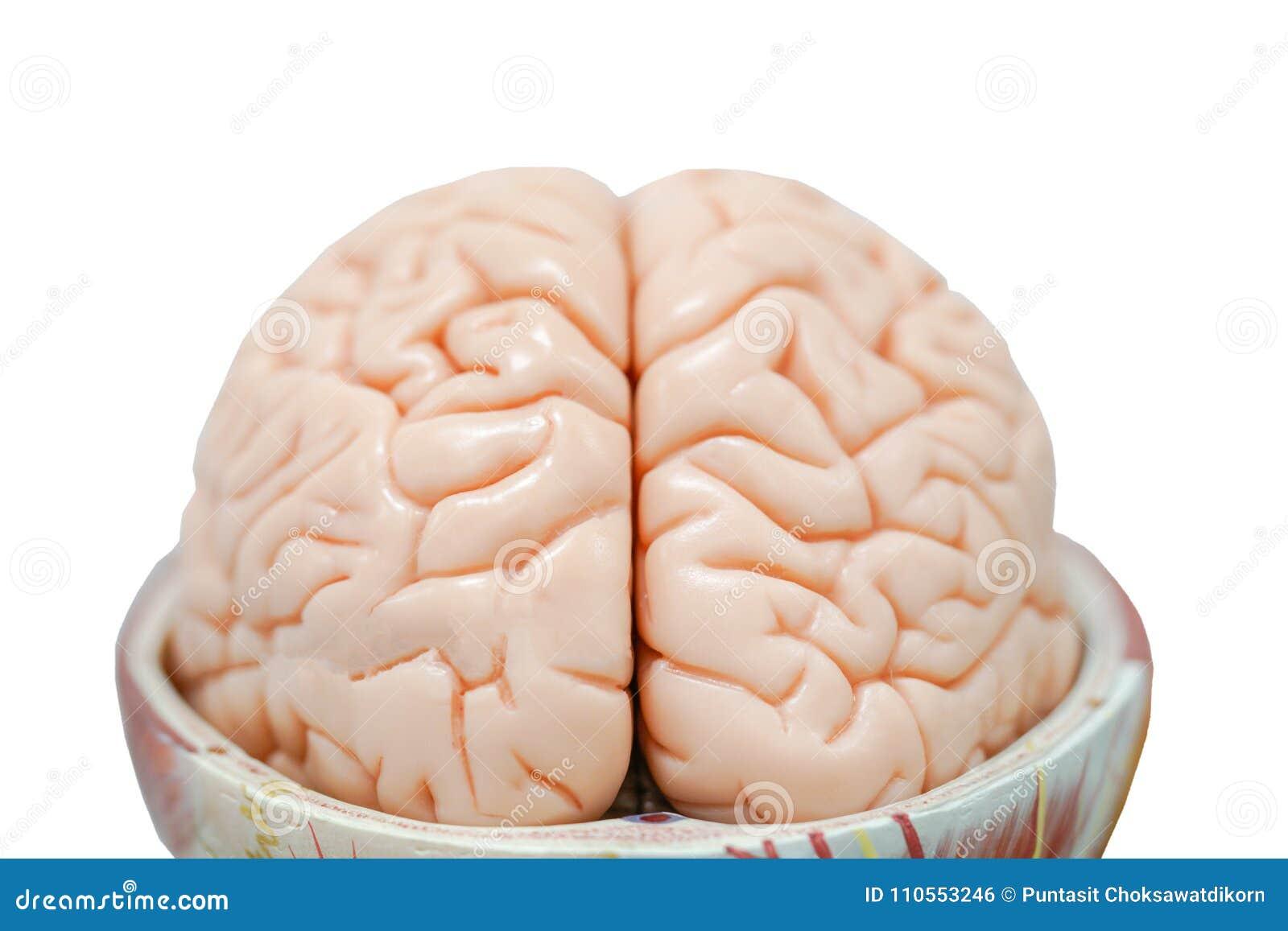 Modelo De La Anatomía Del Cerebro Humano Para La Educación Foto de ...