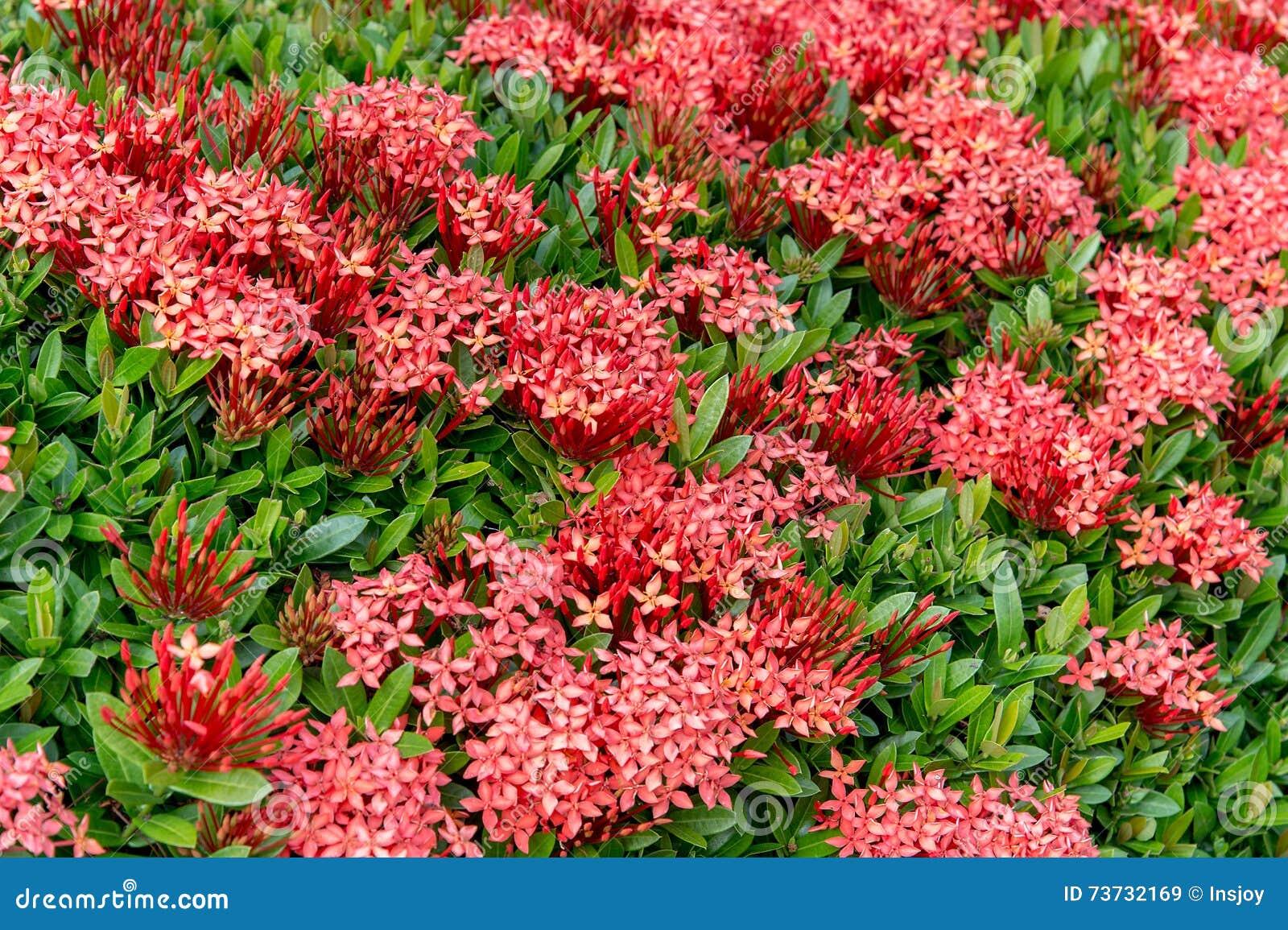 Modelo de la flor Chinensis de Ixora (ixora chino) Lamk