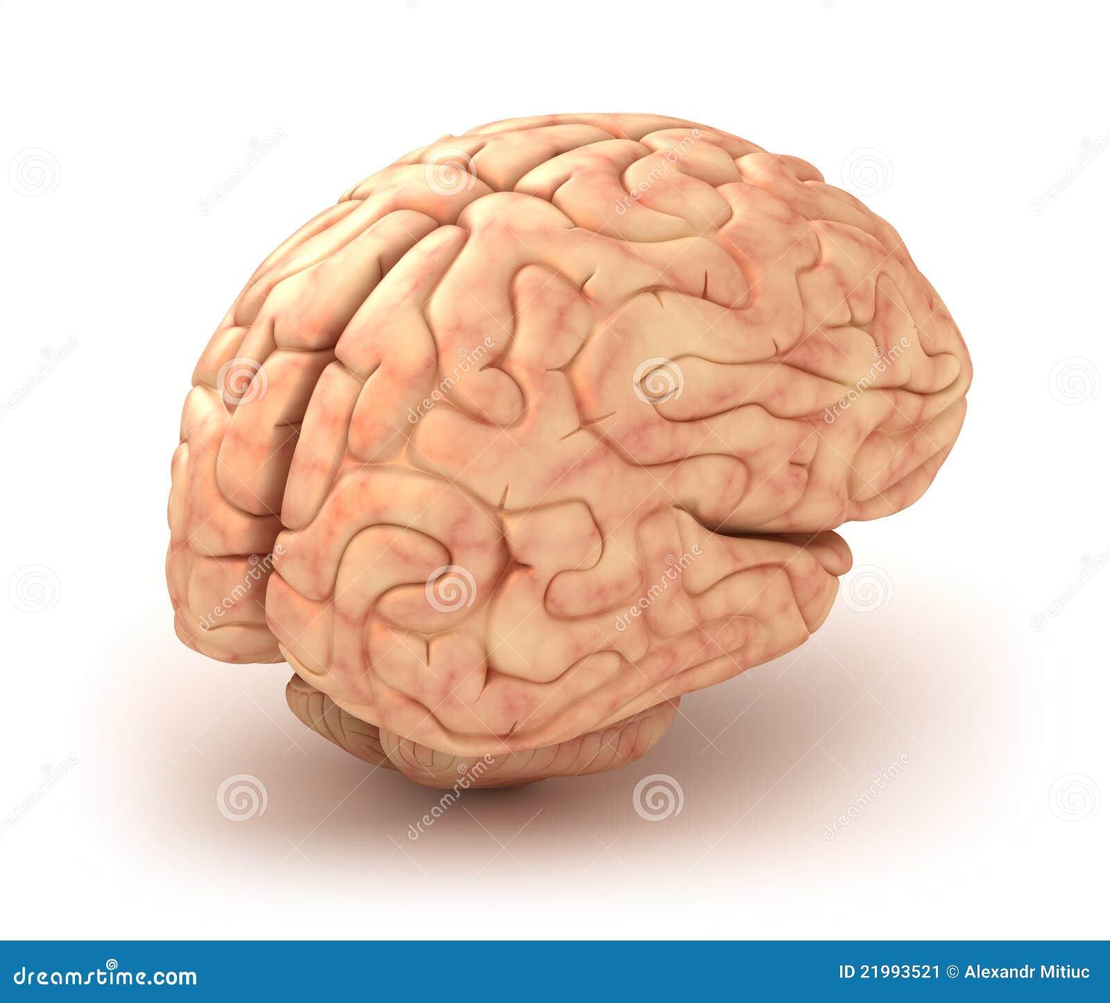 Modelo del cerebro humano 3D