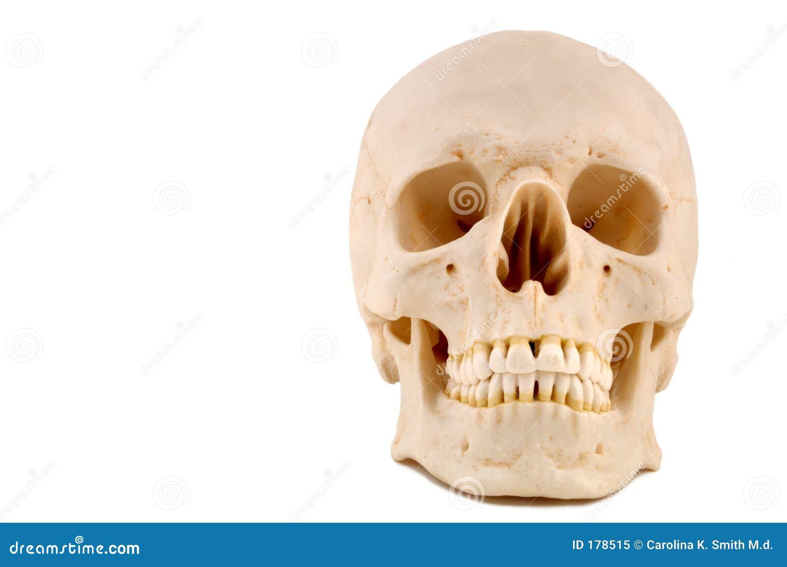 Modelo del cráneo 1-Medical